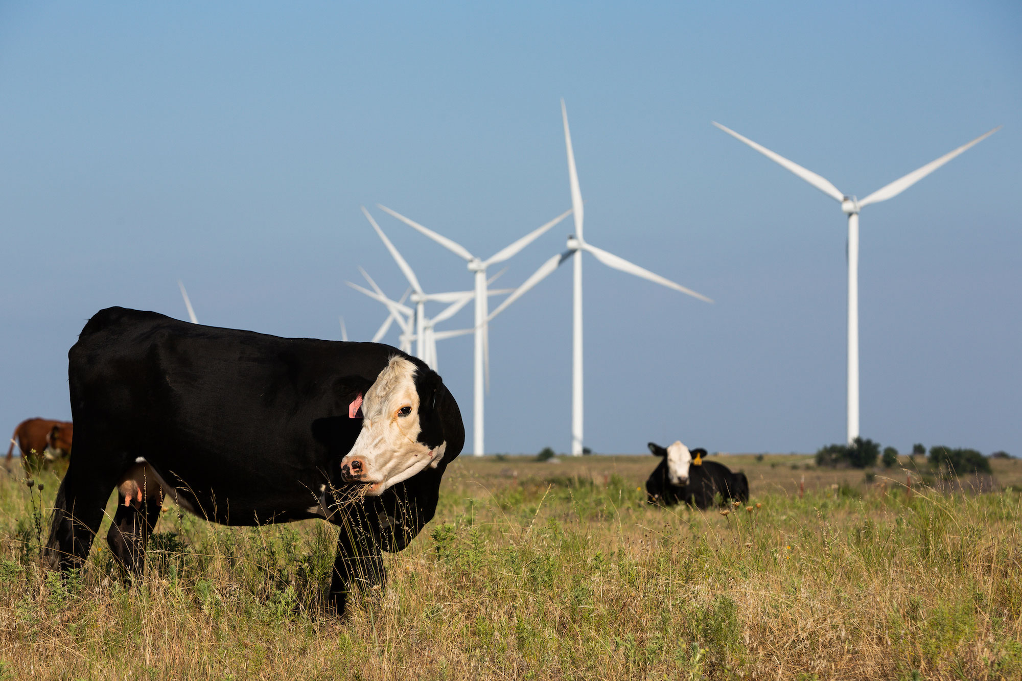 Cattle grazing in pasture with windmill in the background.
