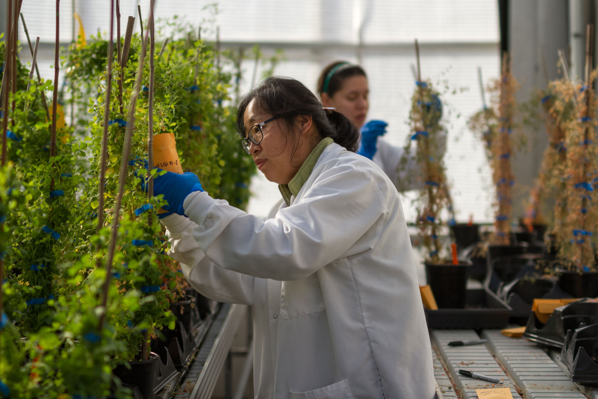 Plant Biologists work with plants in a greenhouse.