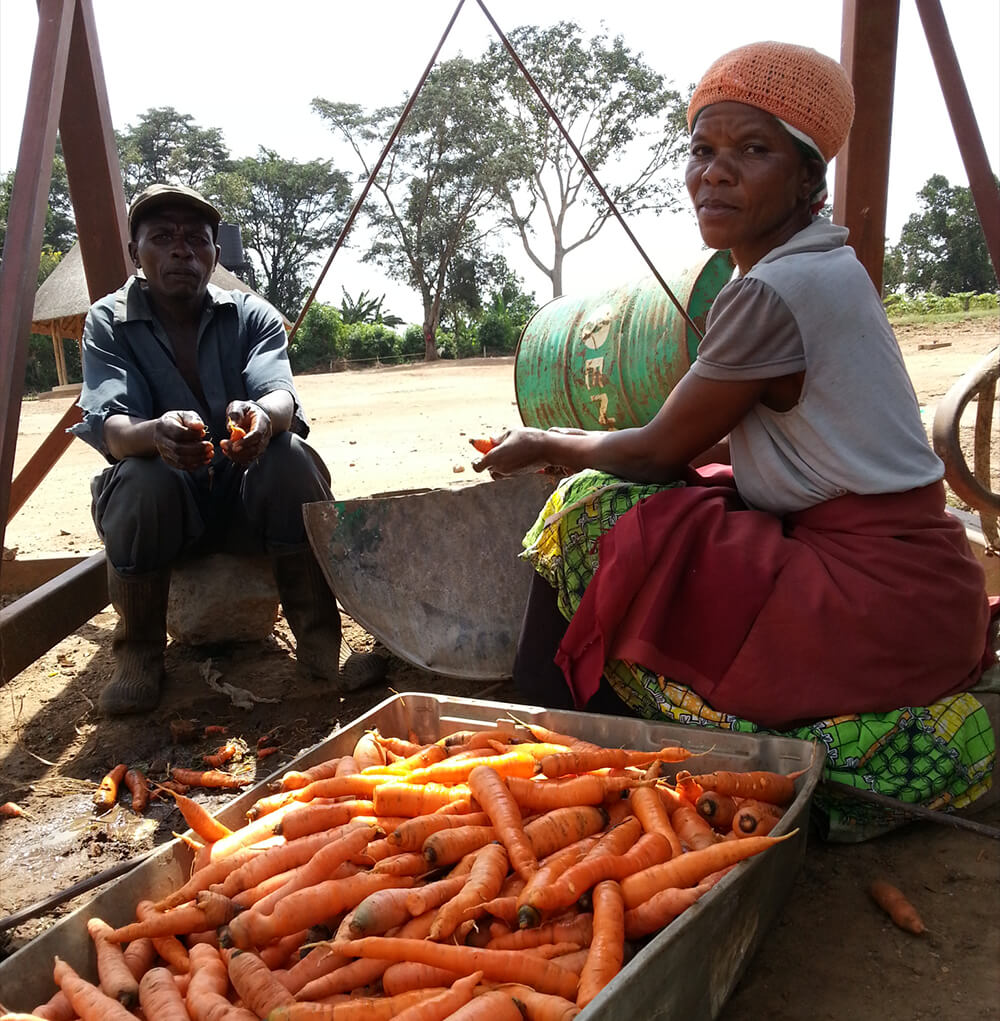 carrots are washed before distribution