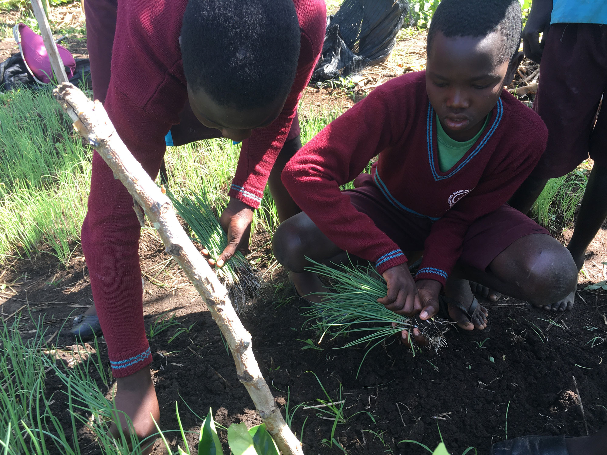 Students help pull out the onions seedlings.