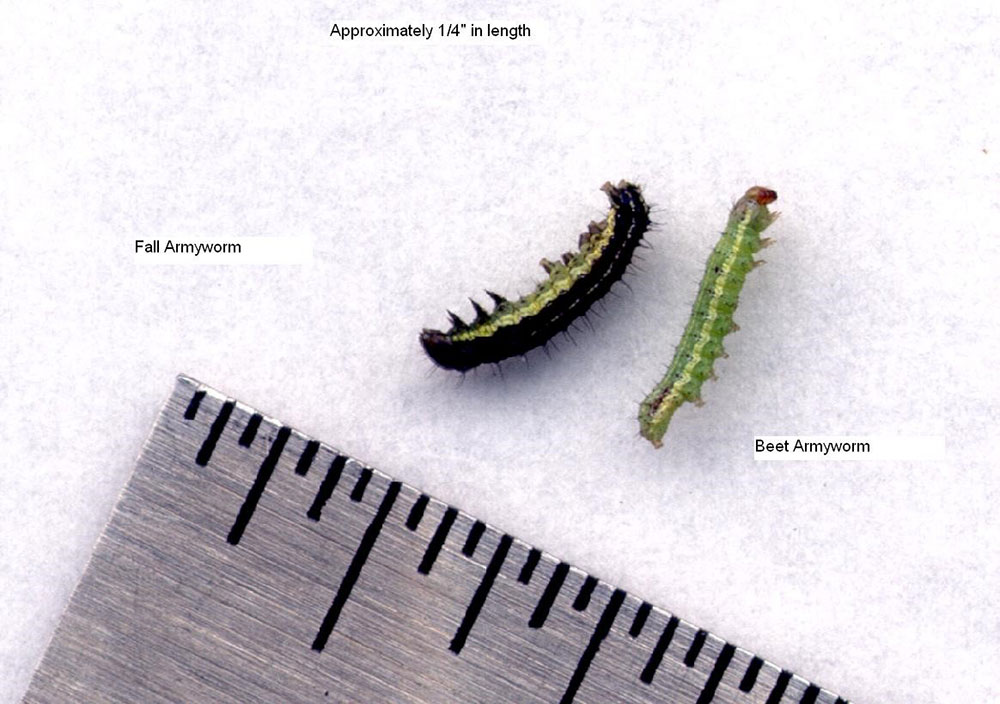 Fall Armyworm (left) Beet Armyworm (right)