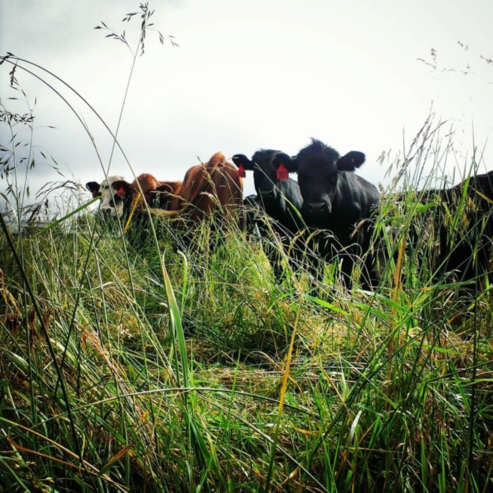 cattle grazing on native pasture