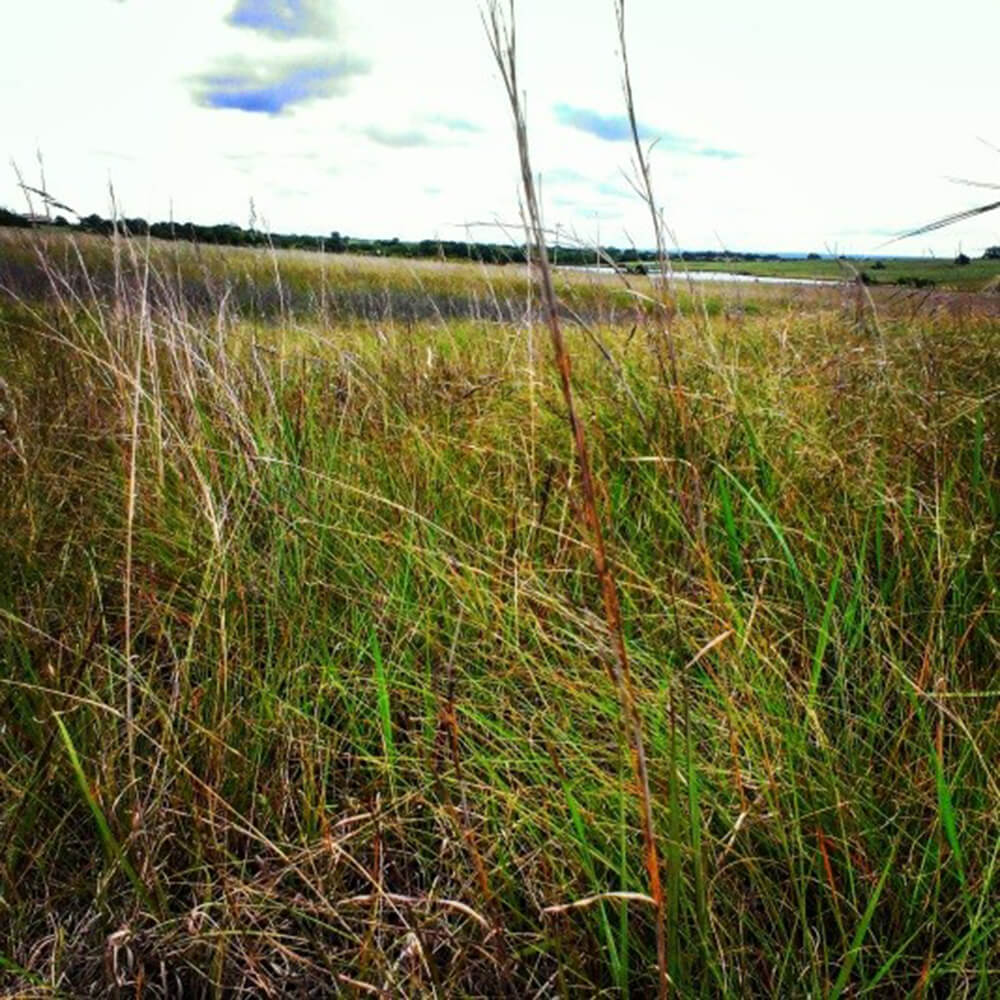 beautiful native grasses