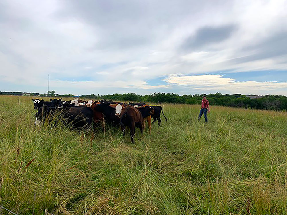 Jake moves a group of heifers to a new paddock