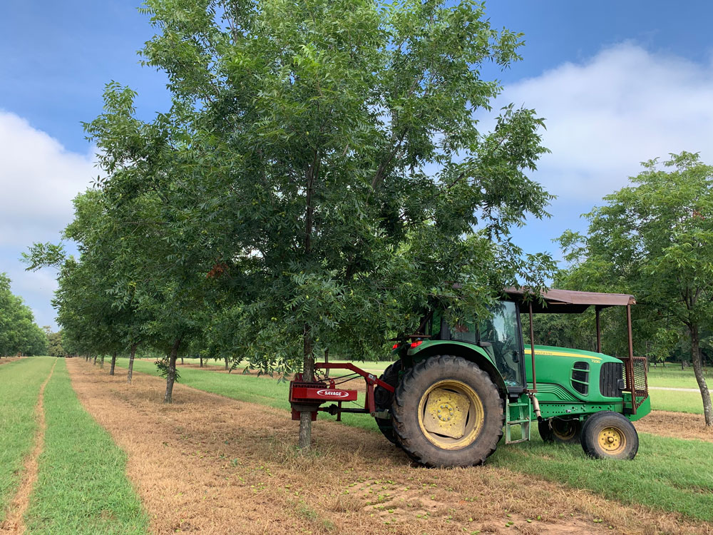 Thinning a pecan crop with a mechanical shaker