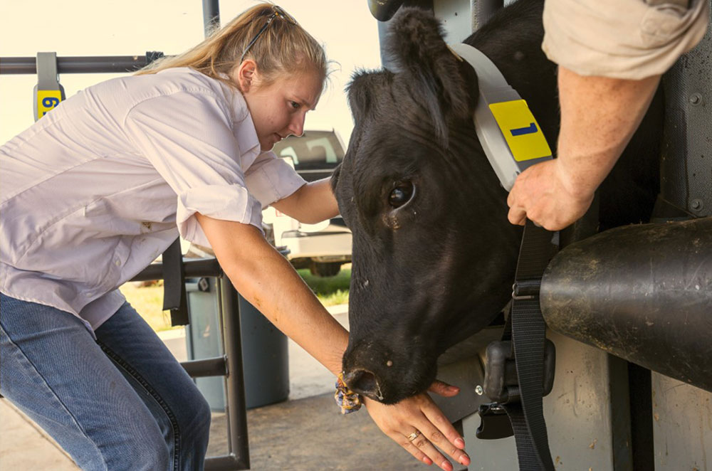 Charlotte Talbott installs collars on calves