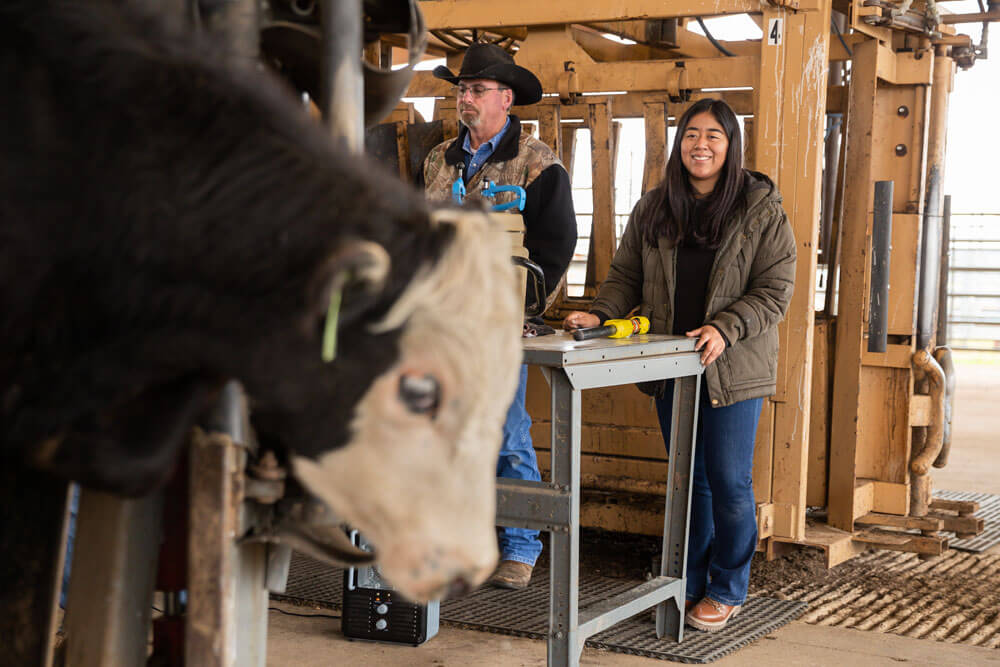 Noble staff working with cow on artificial insemination.