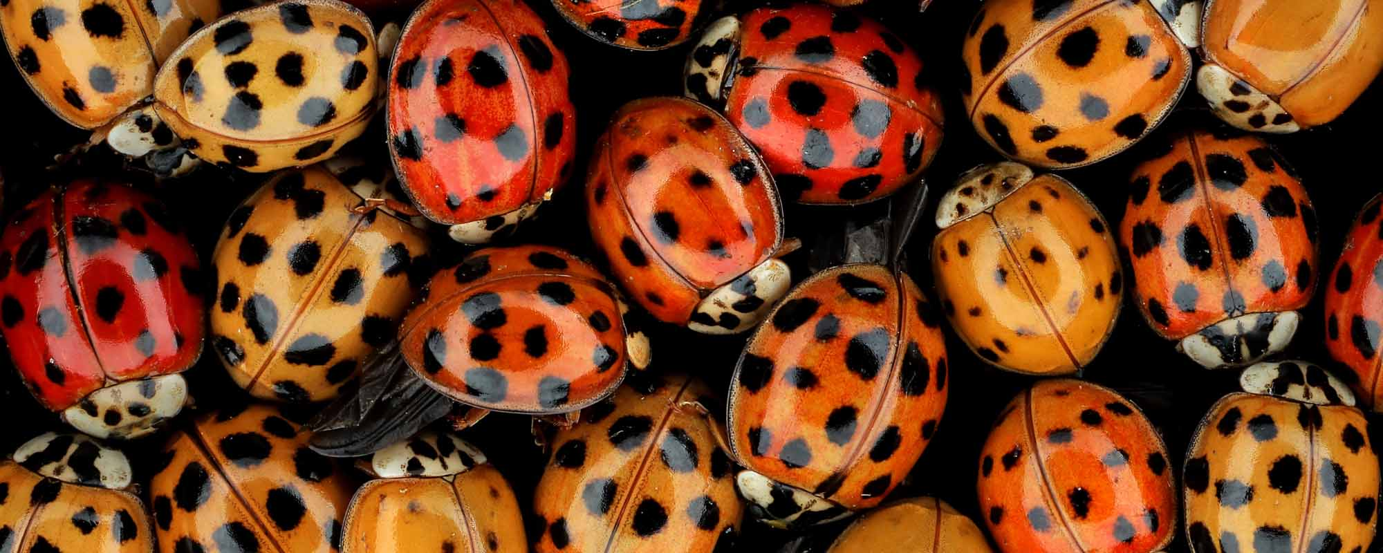 pictures-of-asian-beetles