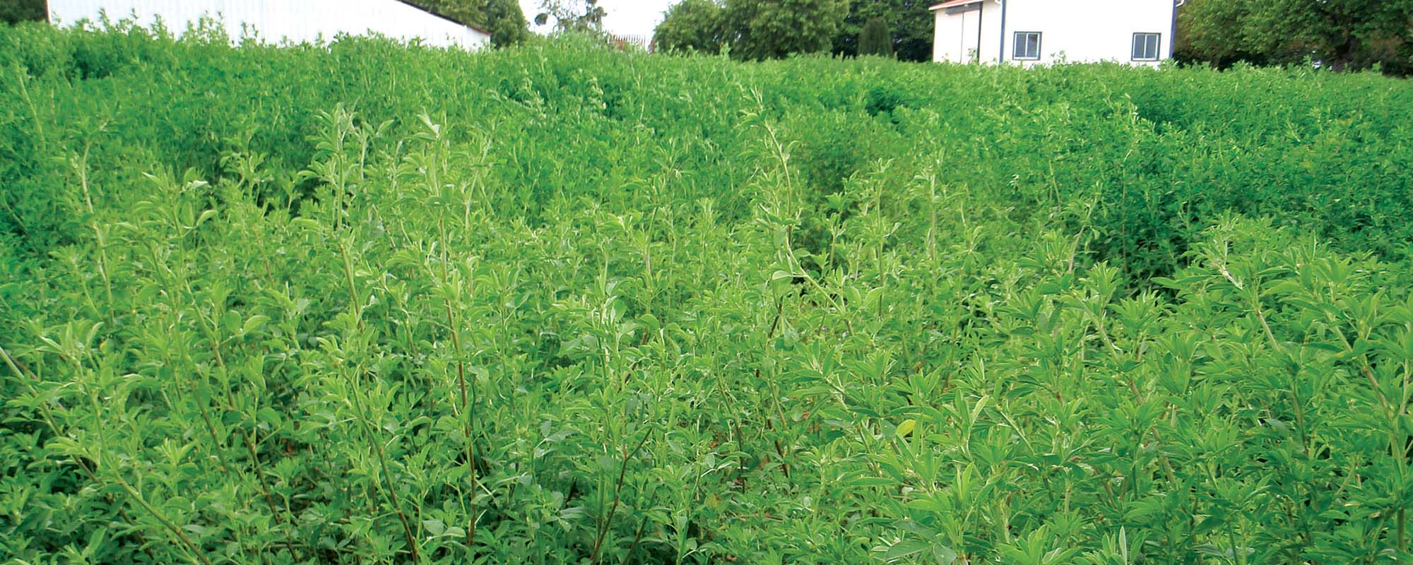 Common Mistakes in Growing Alfalfa