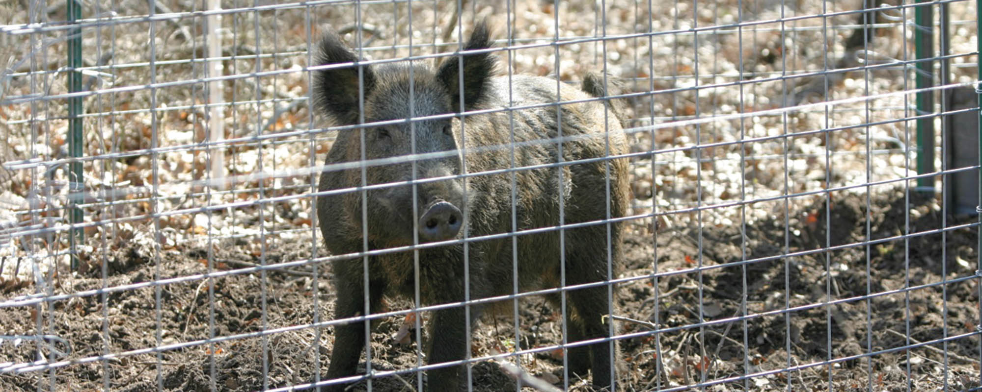 preparation increases pig trapping effectiveness