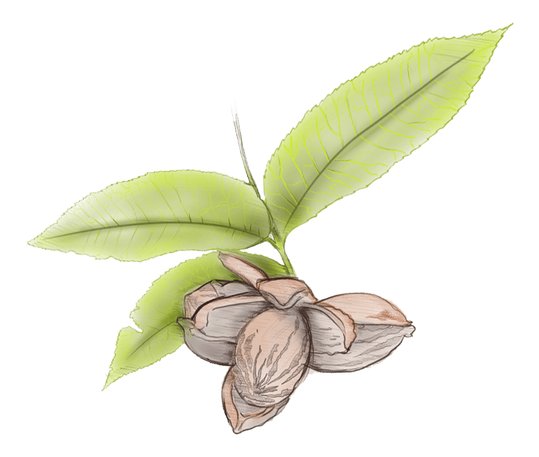 Pecan leaves illustration