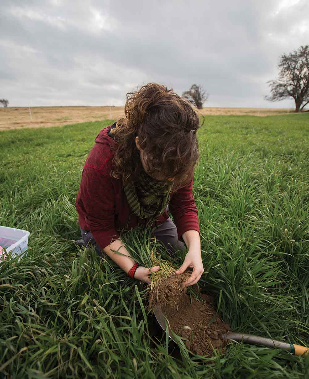 Sampling field-grown wheat