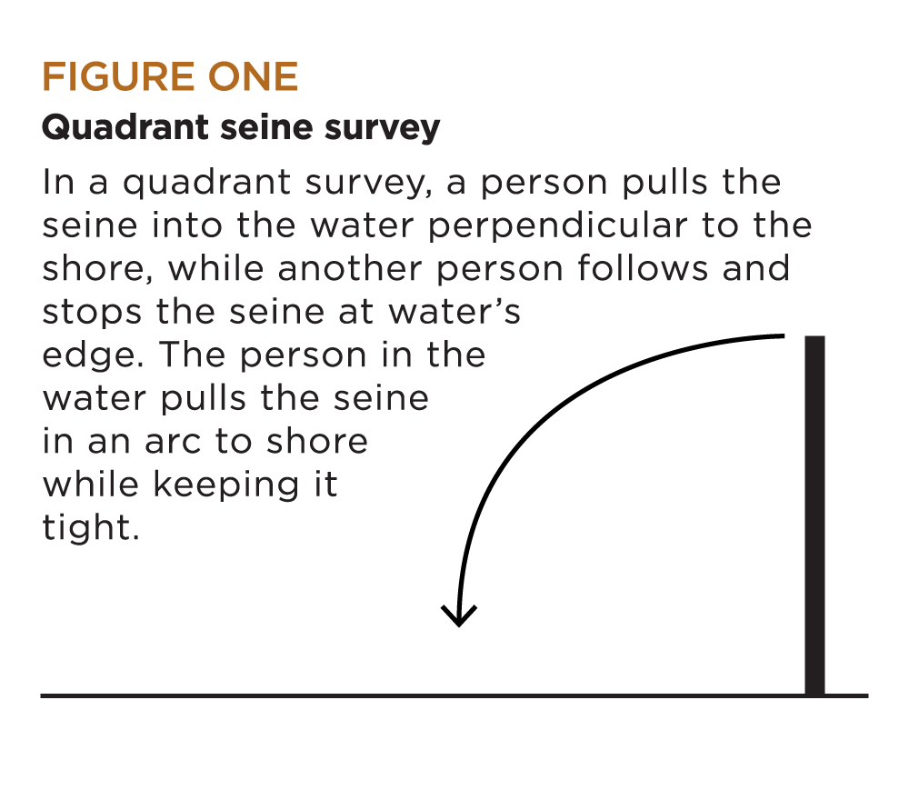 Figure 1: Quadrant seine survey | In a quadrant survey, a person pulls the seine into the water perpendicular to the shore, while another person follows and stops the seine at water's edge. The person in the water pulls the seine in an arc to shore while keeping it tight.