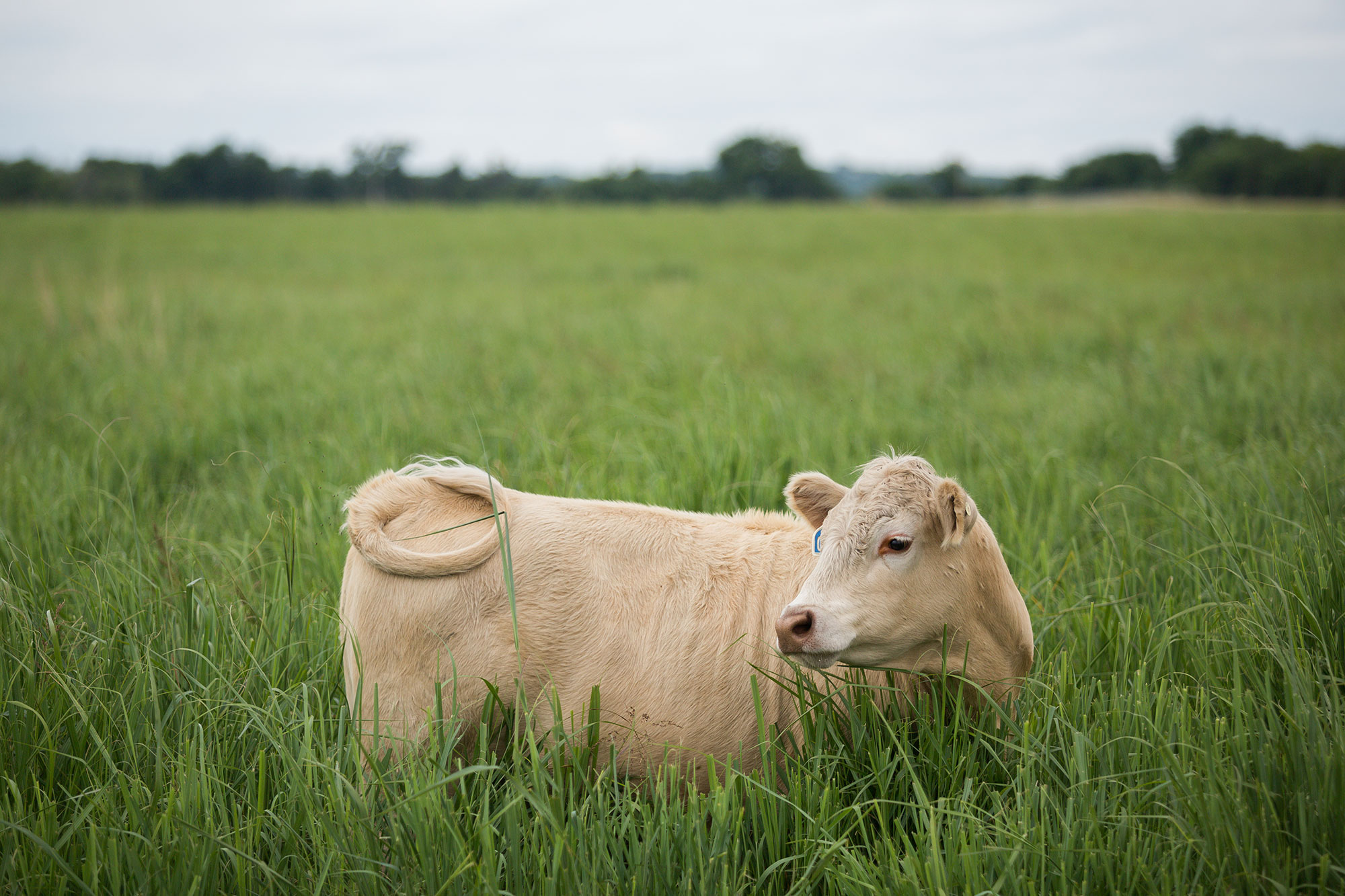 Cow in pasture with forage