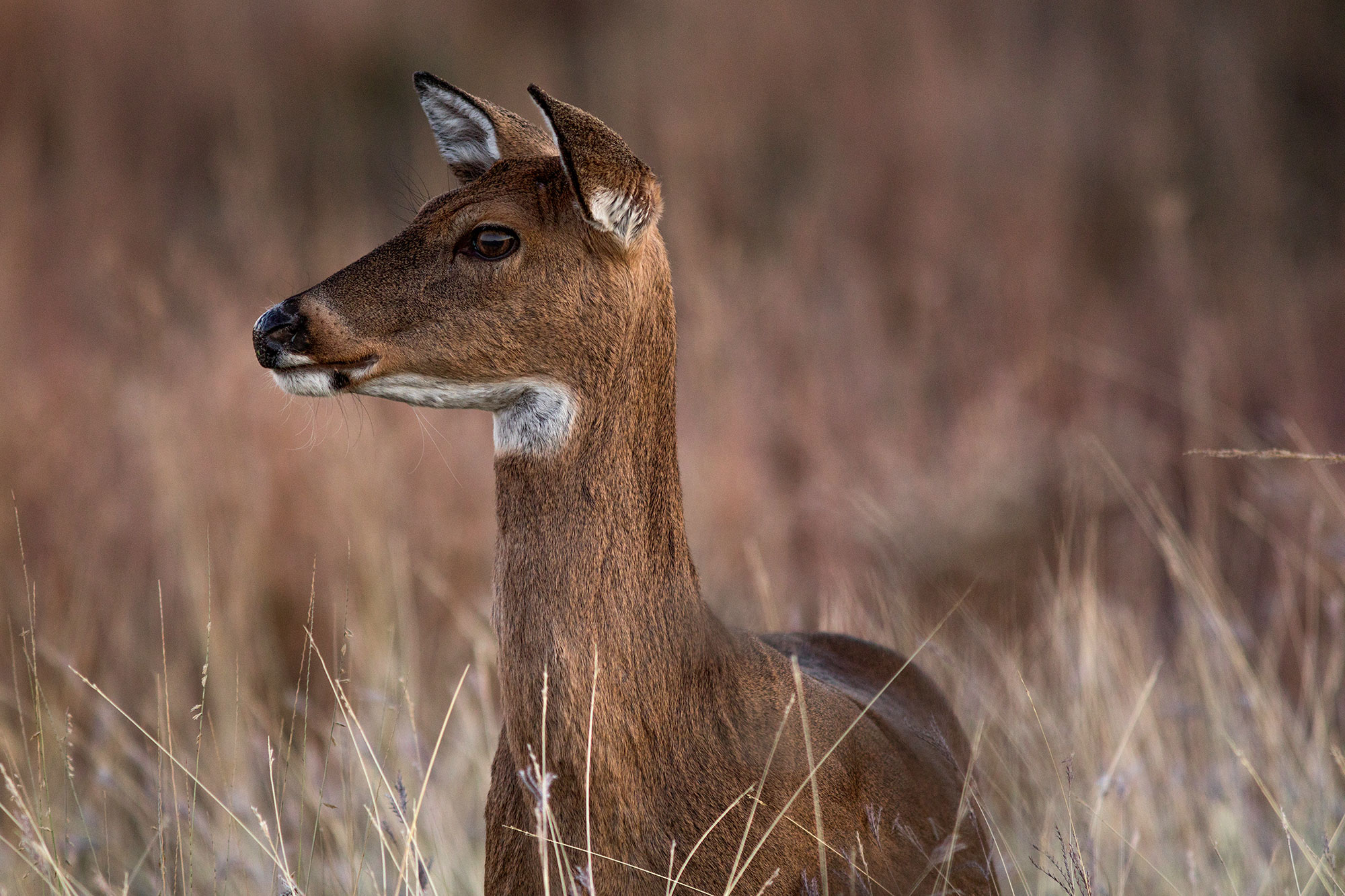 White-tailed deer in pasture