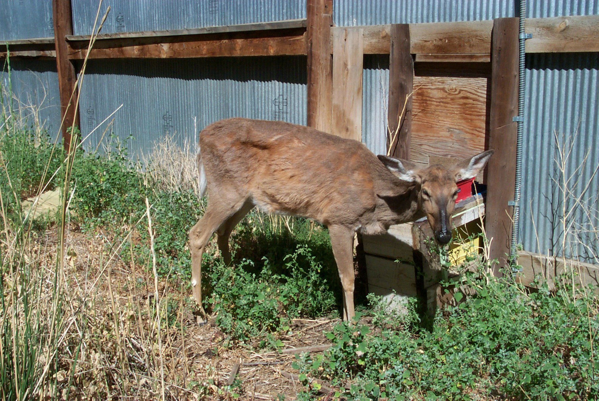 Another deer suffering from Chronic Wasting Disease