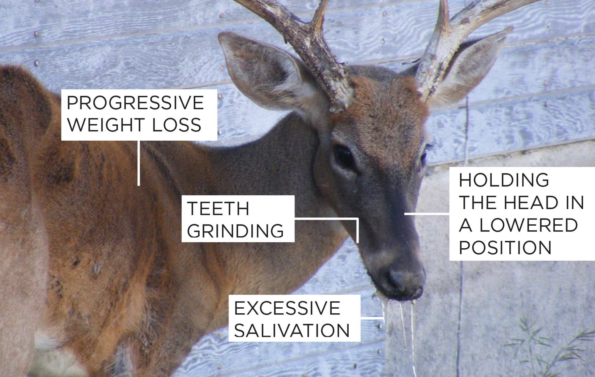 Infographic showing commons signs and symptoms of Chronic Wasting Disease