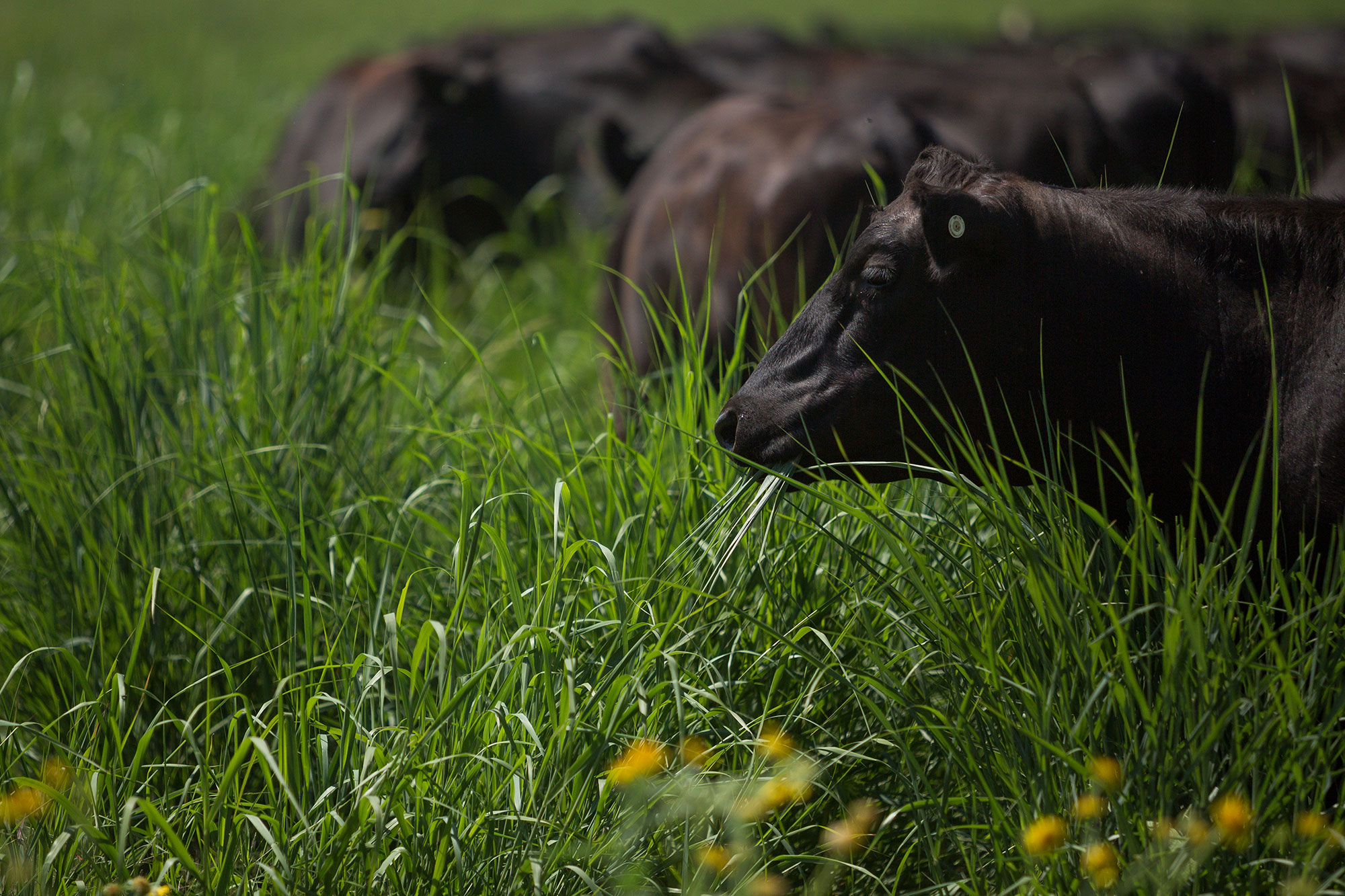 Cattle grazing in a pasture