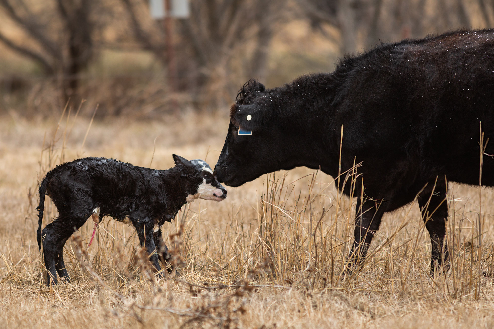 Heifer with newborn calf