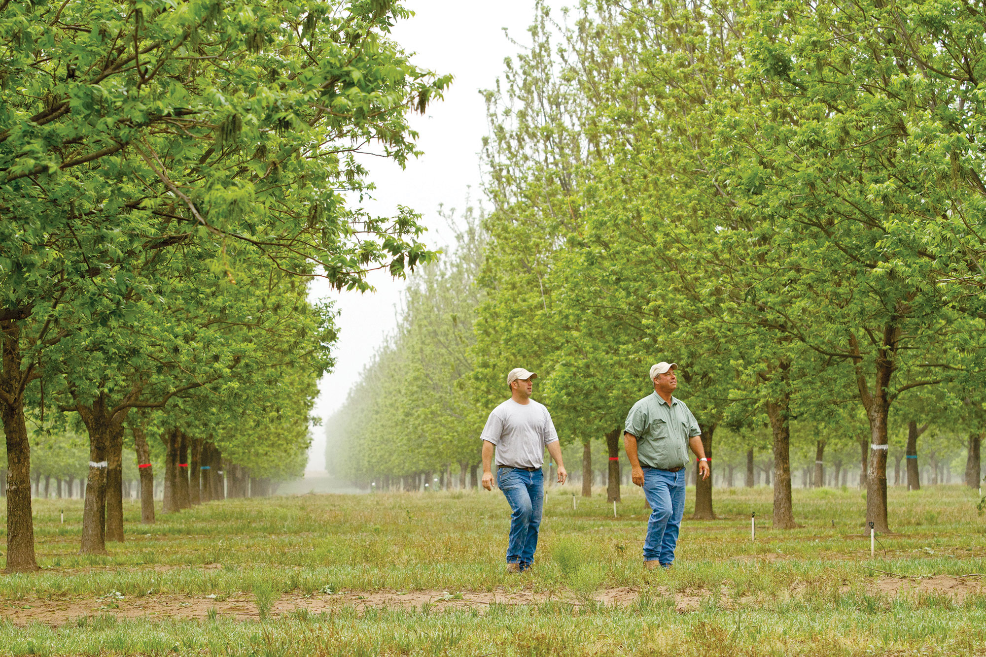 Pecan farmers in the orchard
