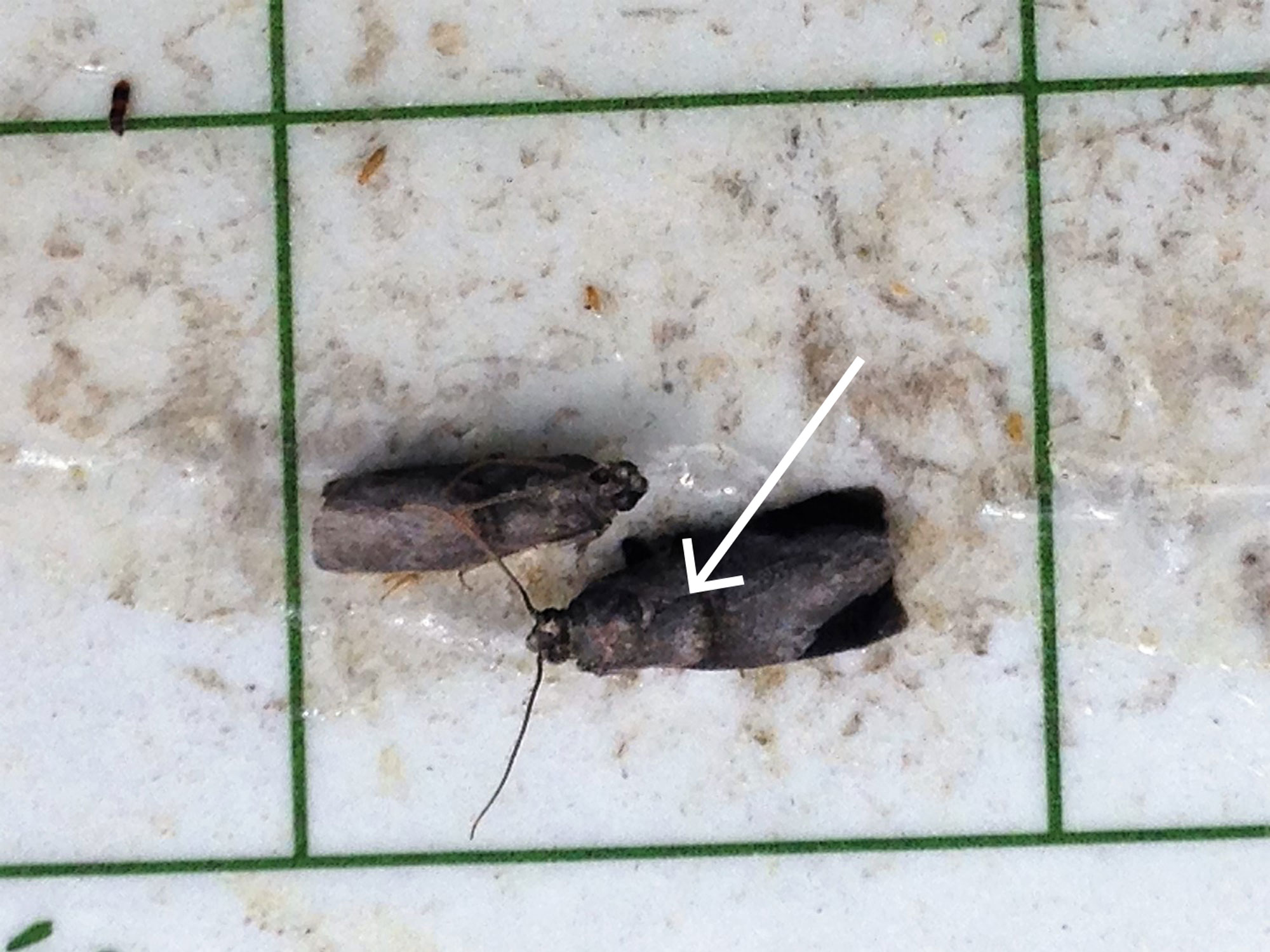 Arrows pointing to the ridge of scales on the forewing of a male pecan nut casebearer moth.