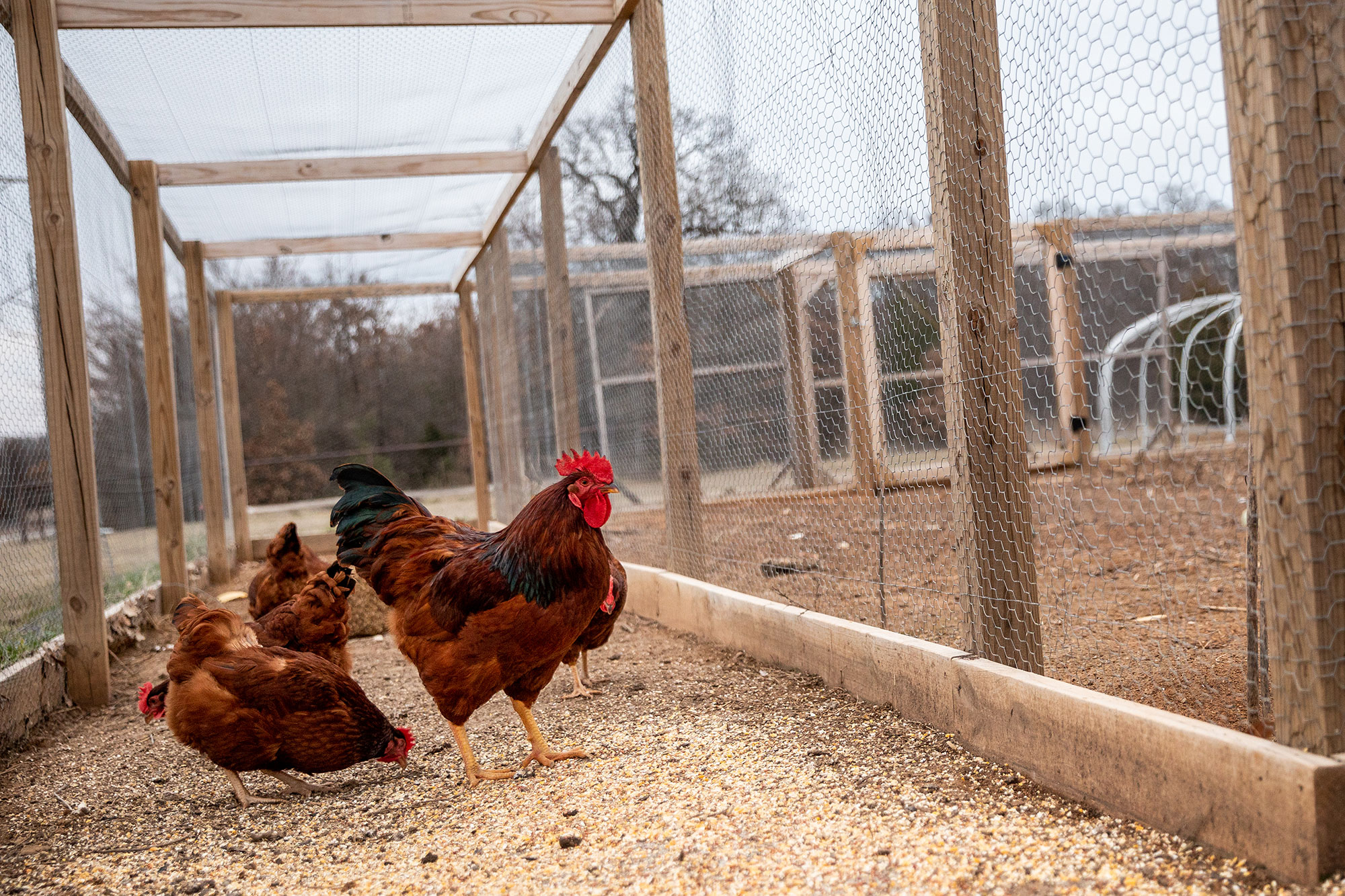 Chickens in Chicken Mote enclosure