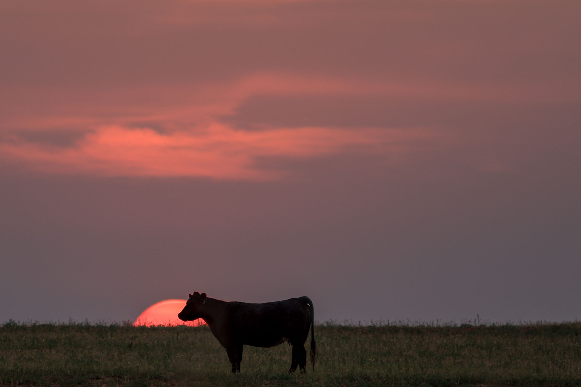 Cow standing in pasture at sunset.