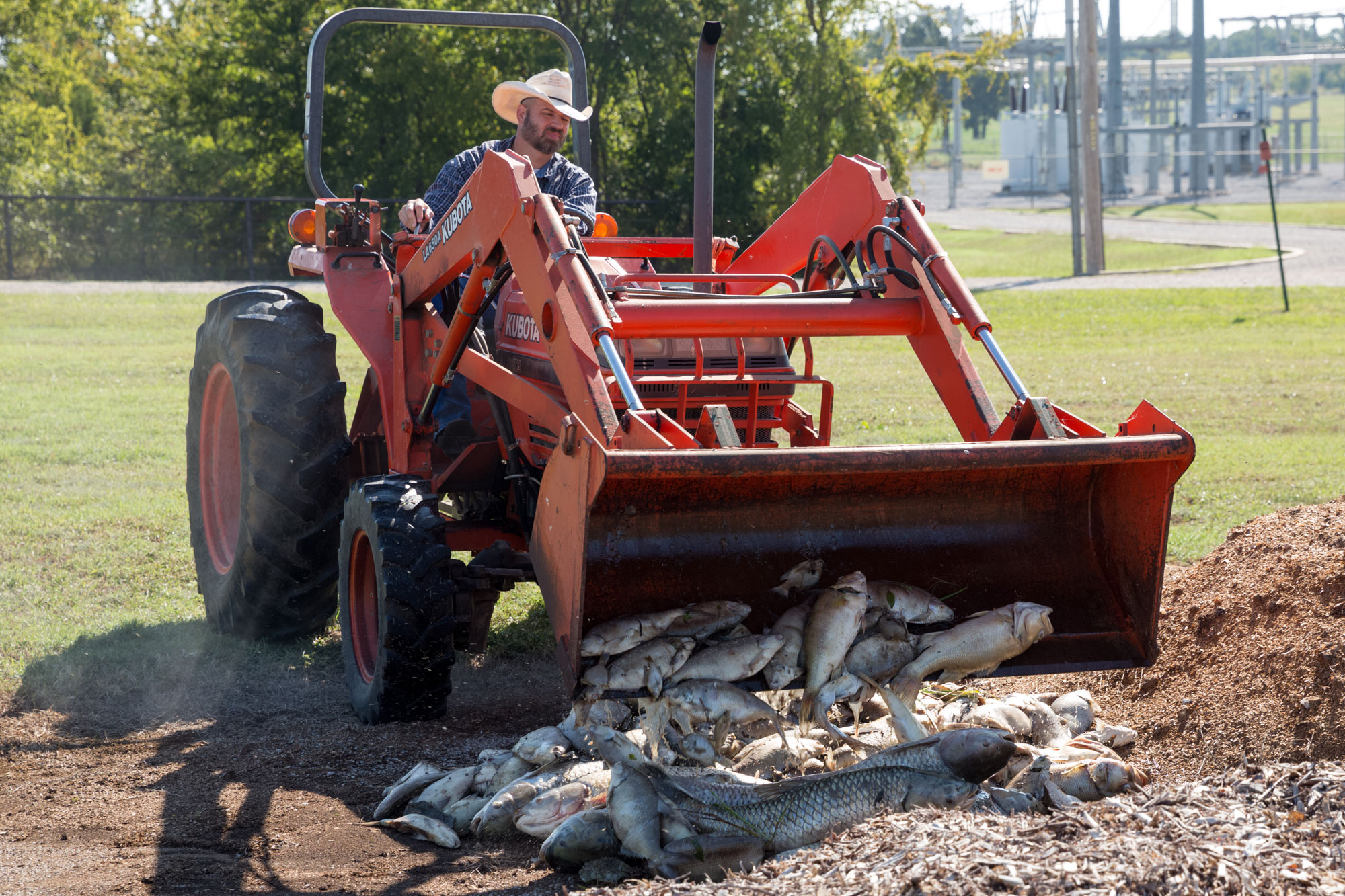 Tractor scooping up dead fish gathered from pond