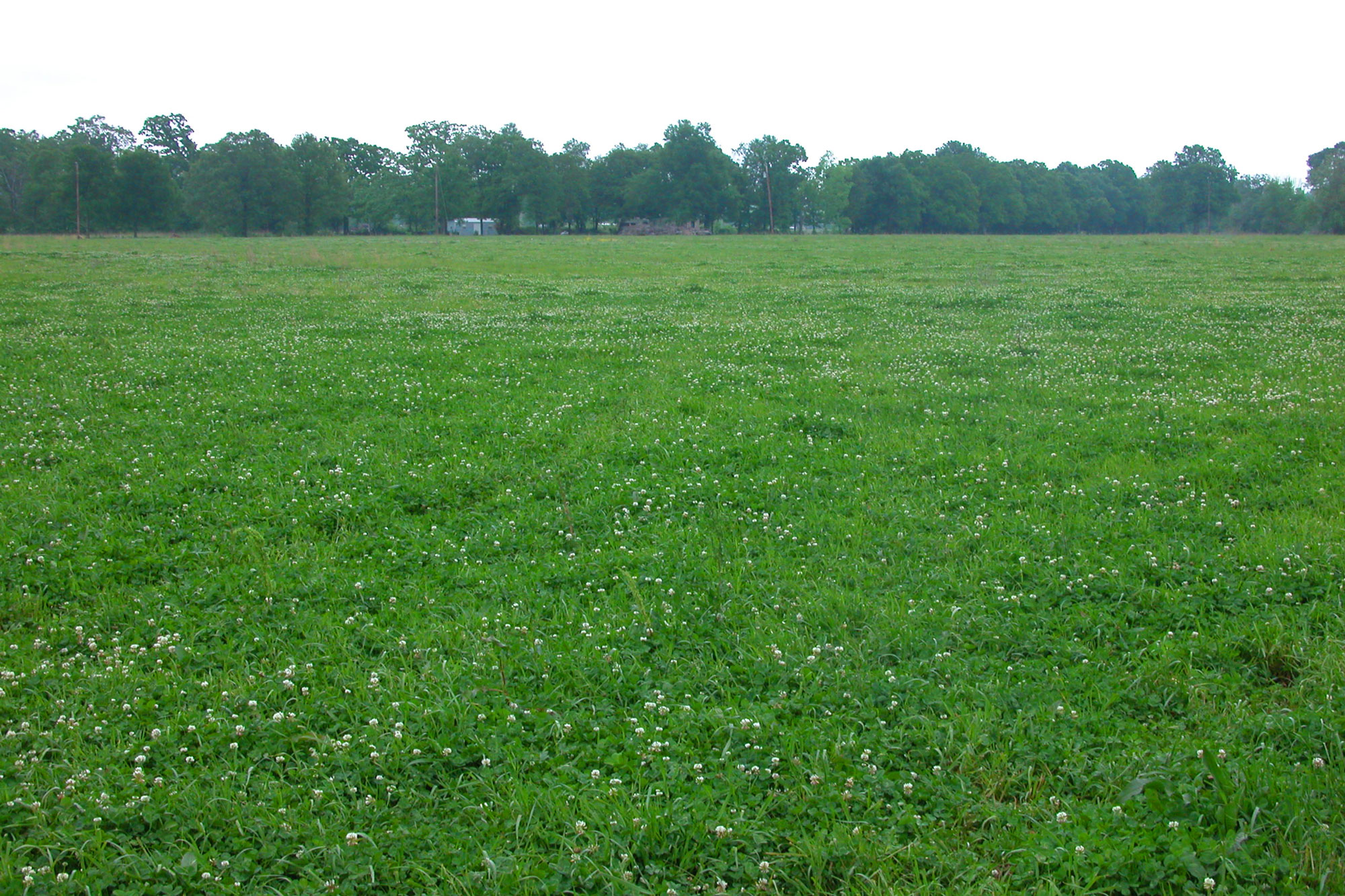 White clover overseeded into a bermudagrass pasture.