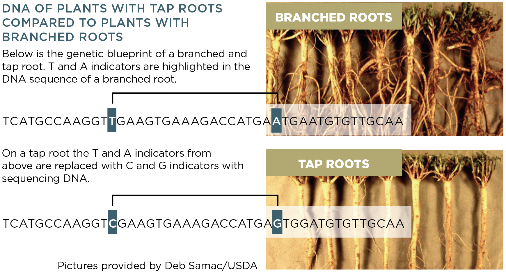Figure for DNA of Plants with Tap Roots vs Branched Roots