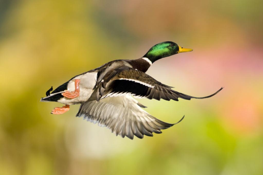 Duck flying in mid-air.