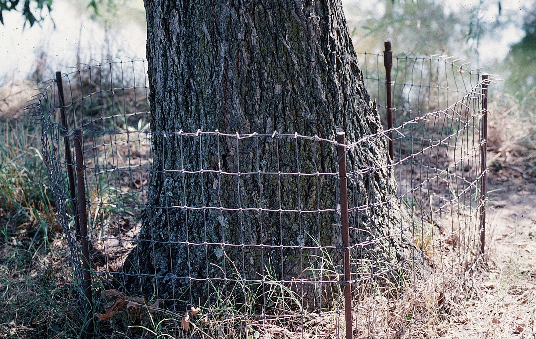 A 2-inch by 4-inch woven wire beaver exclosure protecting a pecan tree