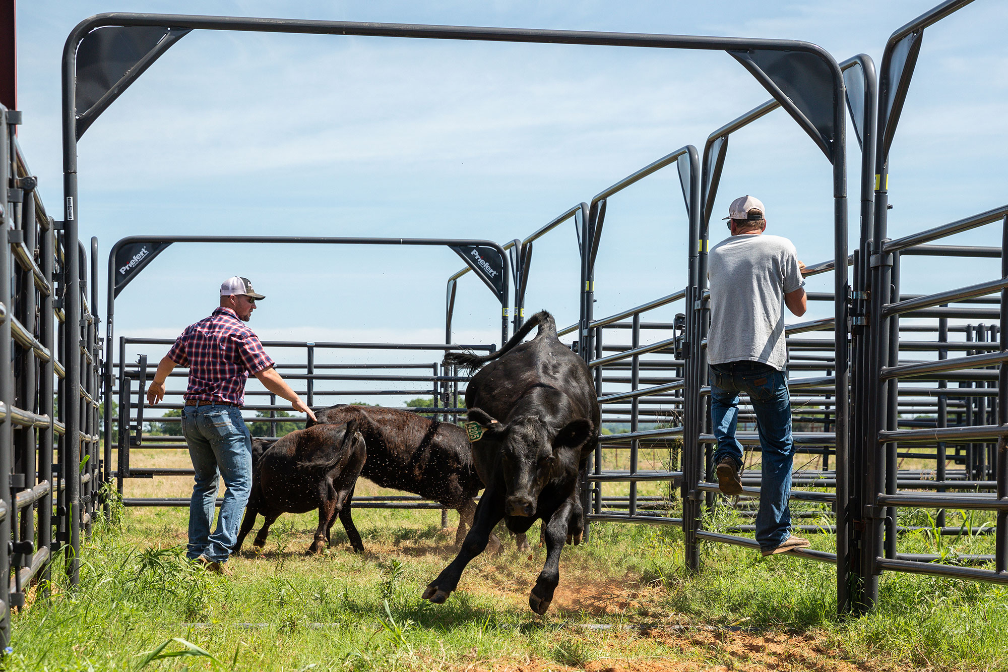 Top 12 Things to Consider Before Building a Cattle Handling Facility
