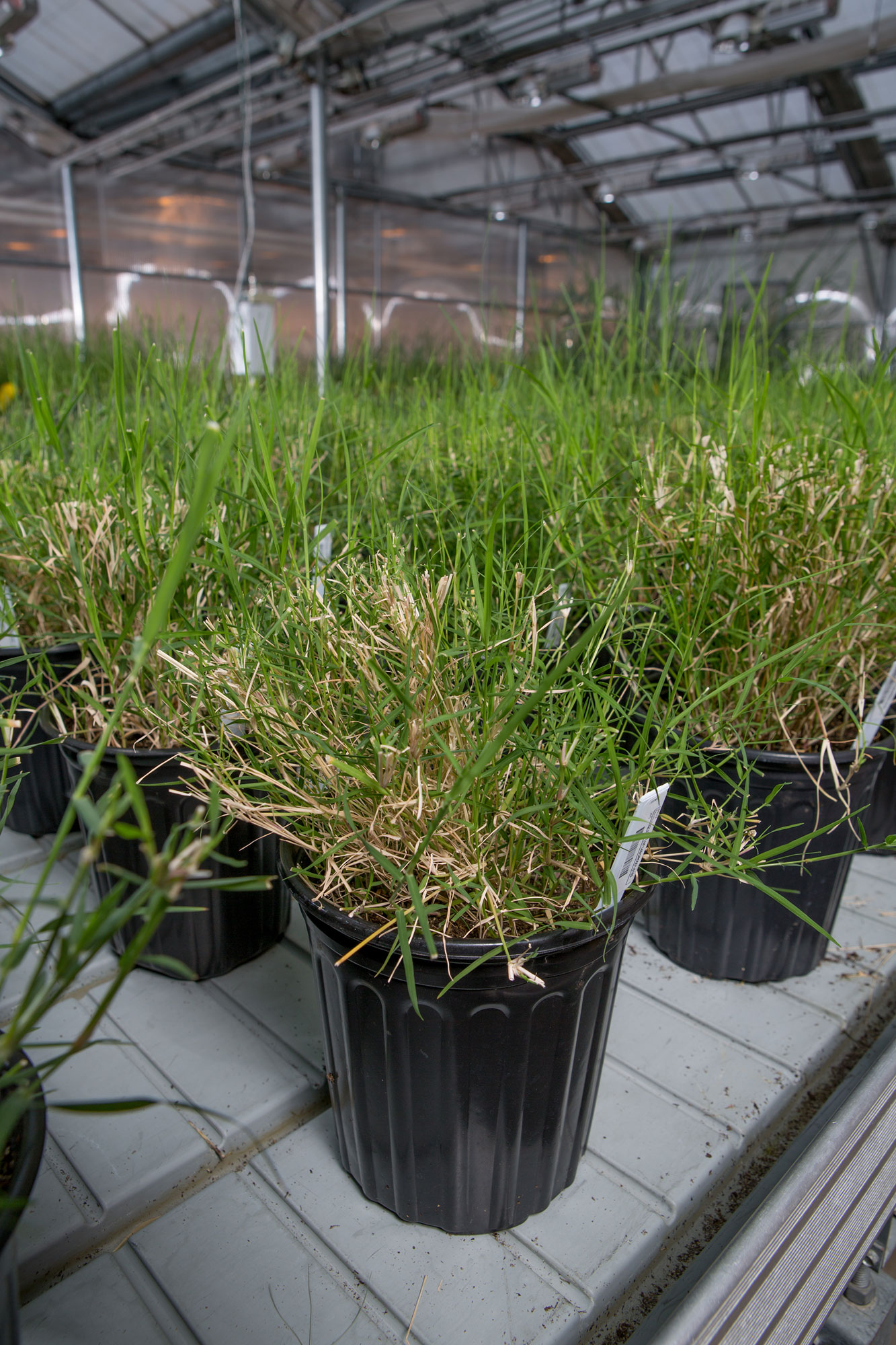 Bermudagrass in planters