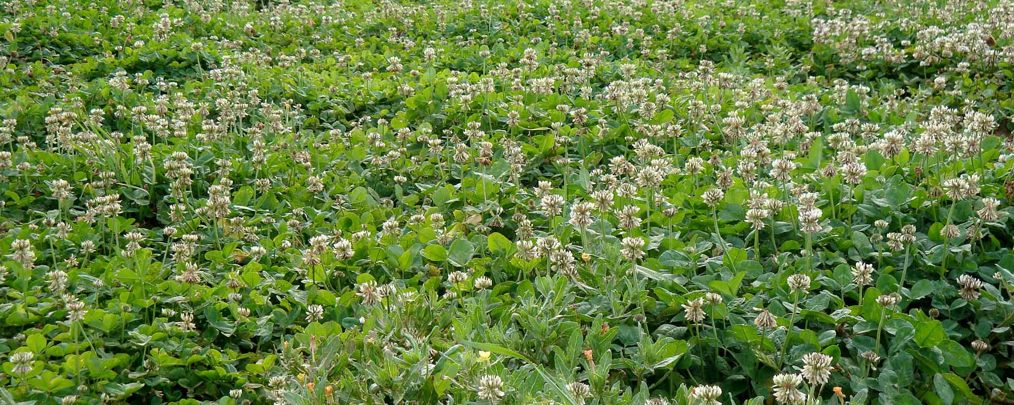 New White Clover Variety Developed Released To Market