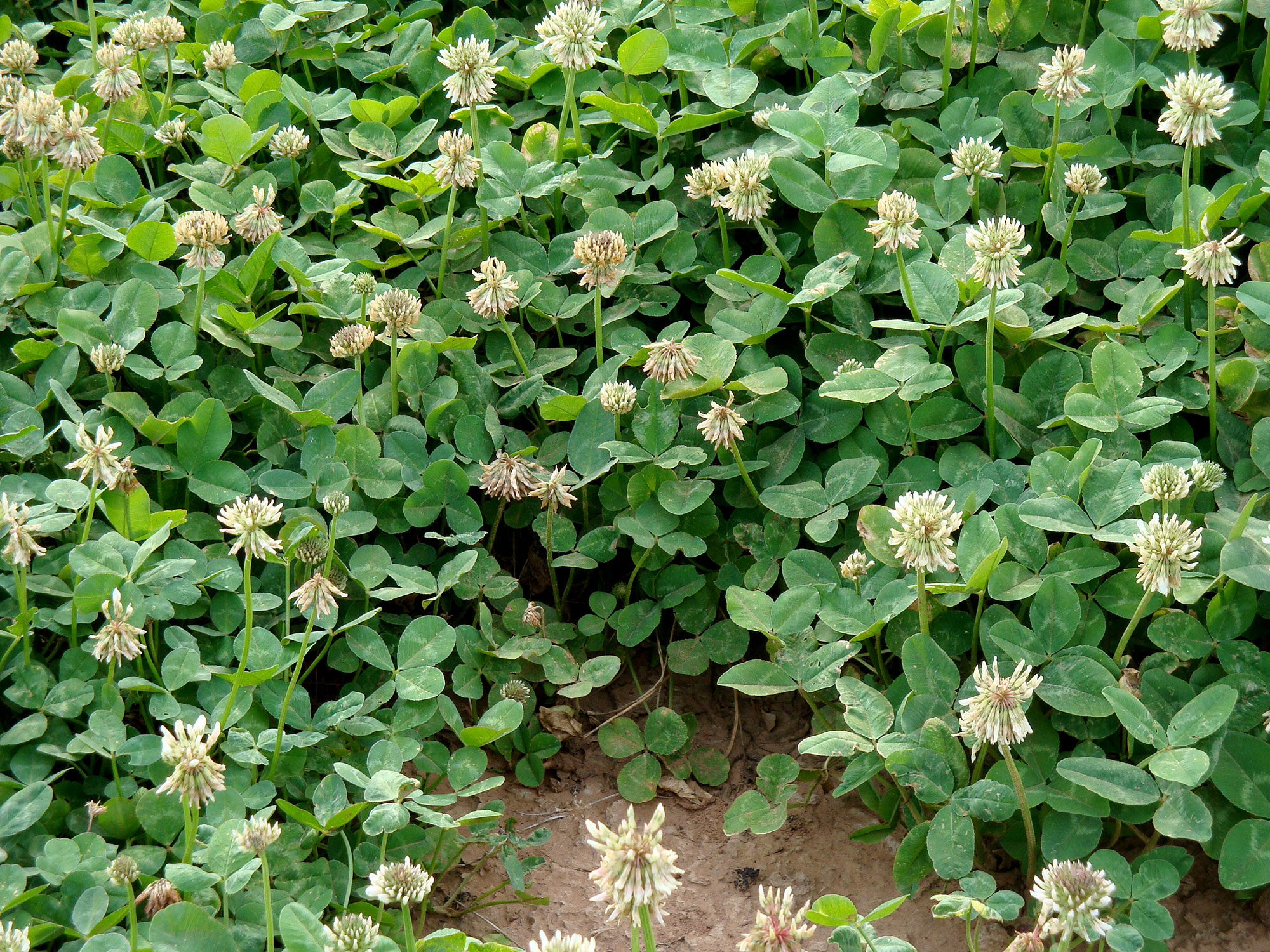 Renovation white clover variety