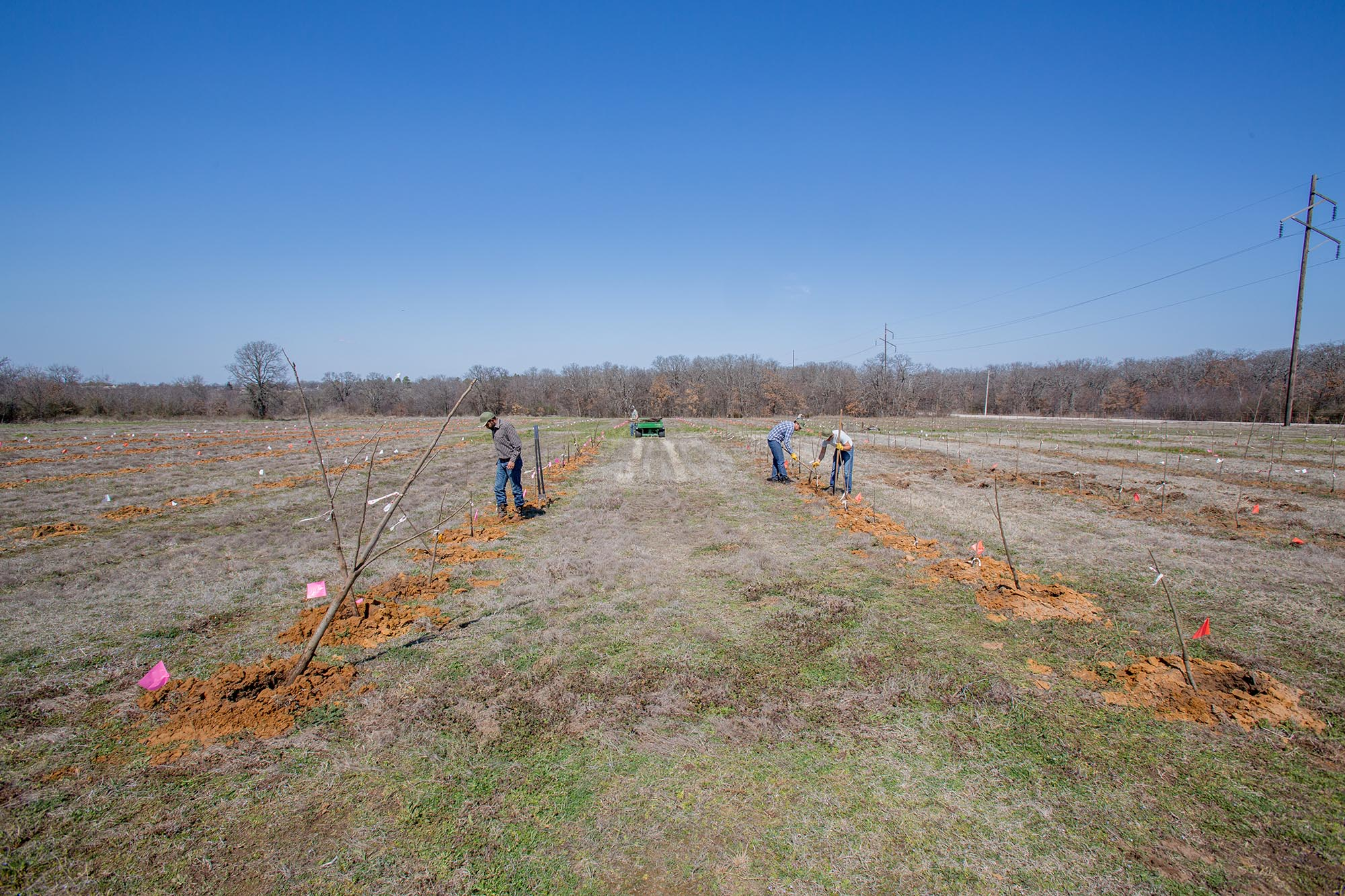 Pecan trees being planted by several farmers.