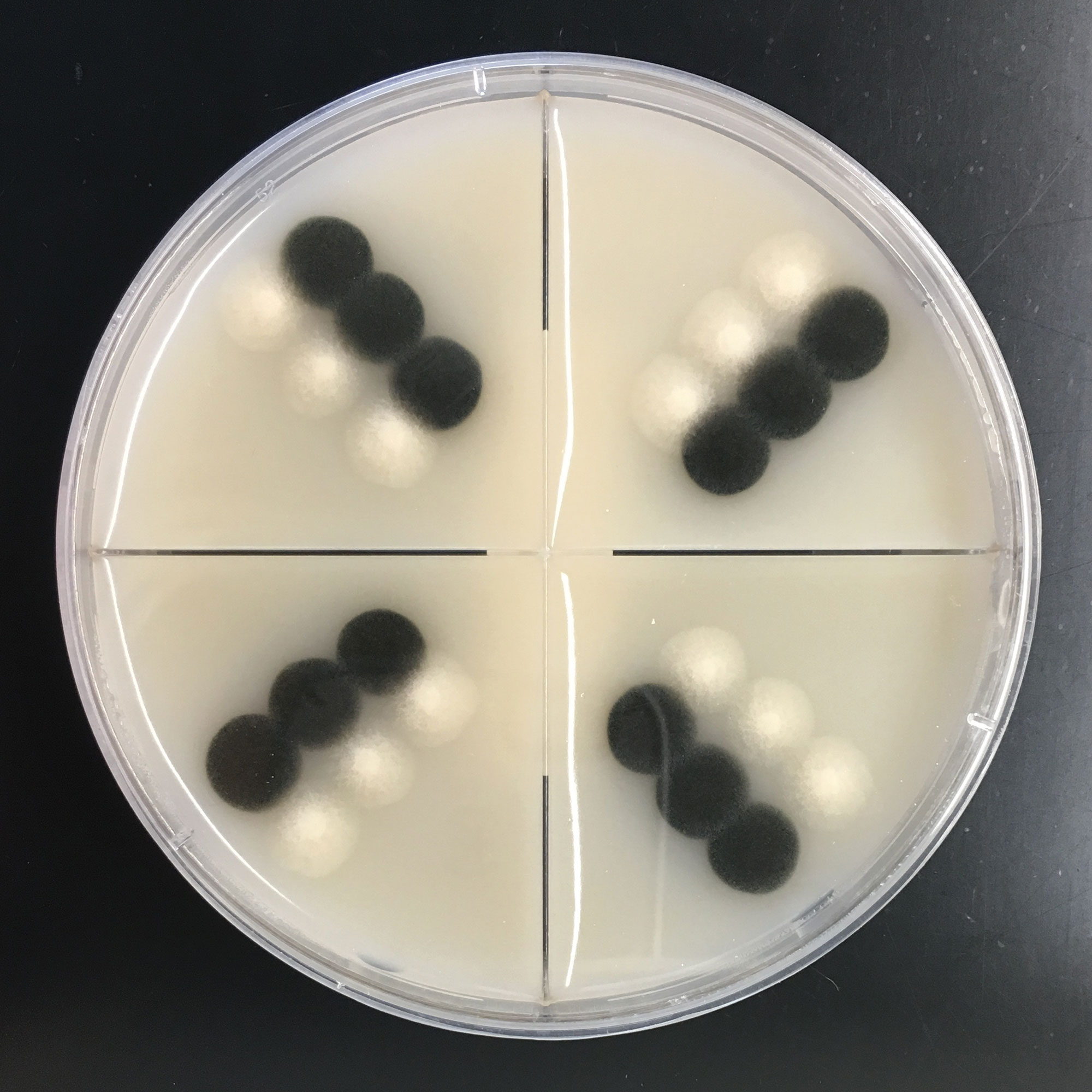 Two isolates of the fungus that causes pecan scab grow in a petri dish as part of a test to understand their mating behaviors. The black is a wild type, the most common form of the fungus. The white type is a natural variant isolated from the wild type.